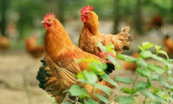 冶山贡鸡生态观光园-美团