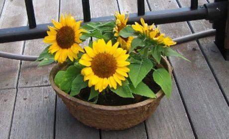 花盆太大,估计是养不了向日葵