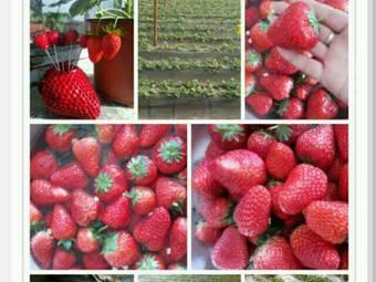 源源草莓采摘园