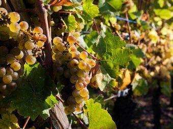 金色秋天葡萄采摘园