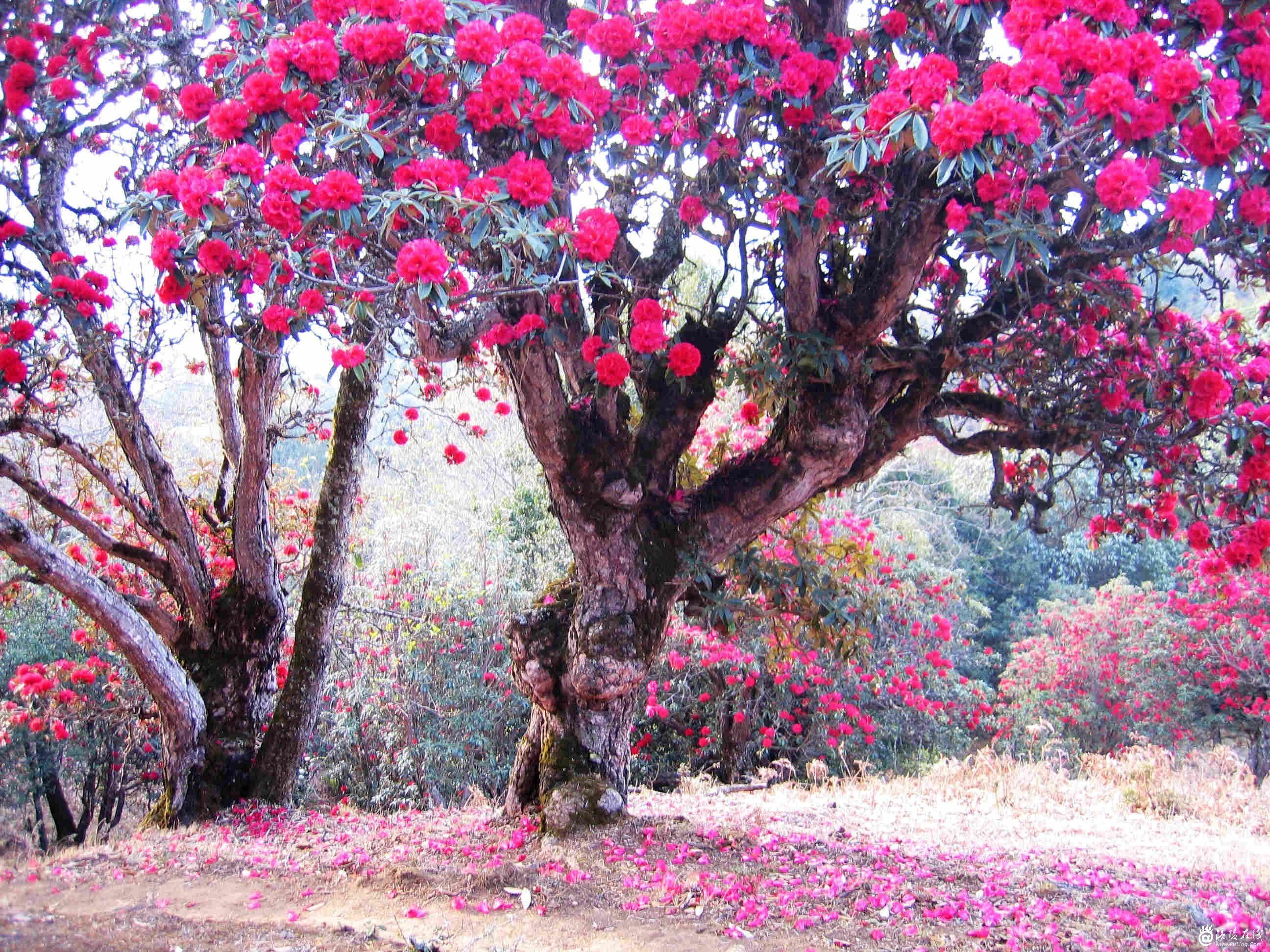 贵州百里杜鹃风景名胜区