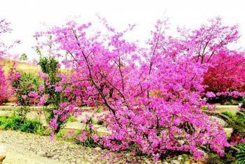 【新丰县】樱花峪-美团