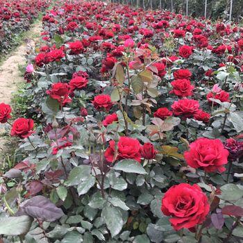 【金坛区】华东玫瑰风情园成人票-美团