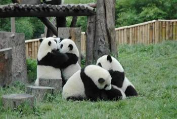 【青城山】都江堰熊猫乐园景区儿童/老人/学生票-美团