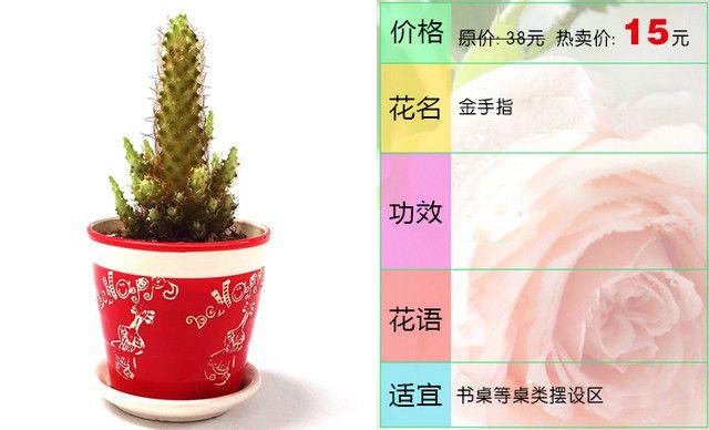 :长沙今日团购:【燕姿花艺】金手指绿植盆栽办公室内桌面防辐射绿色植物1盆,提供免费WiFi