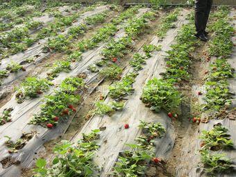 紫园草莓采摘园
