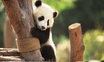 【成都出发】大熊猫繁育研究基地纯玩2日跟团游高星酒店*成都住宿,巴士+门票-美团