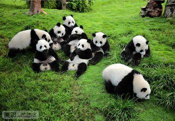 【成都出发】大熊猫繁育研究基地、三星堆博物馆纯玩1日跟团游*纯净团含午餐市内包接-美团