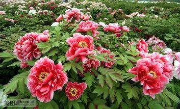 【焦作出发】神州牡丹园、洛阳东花园纯玩1日跟团游*洛阳东花园一日游-美团