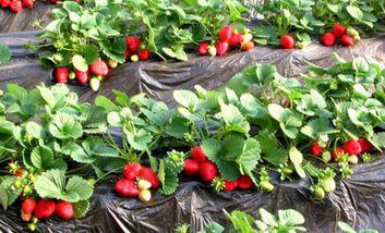 【其它】杨城寨草莓采摘园-美团