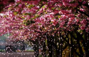 【海珠区】海珠湿地国家森林公园樱花文化节踏青赏樱成人门票-美团
