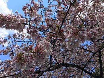 【鄢陵县】圣帝樱花园门票-成人票-美团