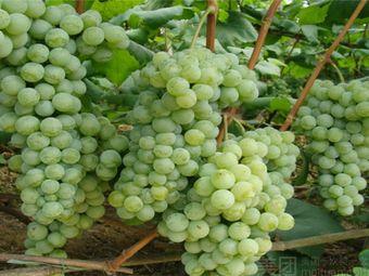 东方天香葡萄园