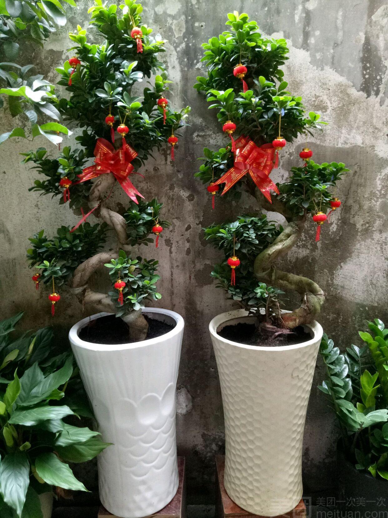 :长沙今日团购:【爱尚鲜花】S型造型榕树
