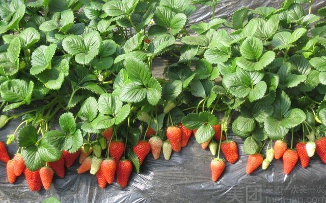 茂发盛草莓采摘园(草莓采摘)-美团
