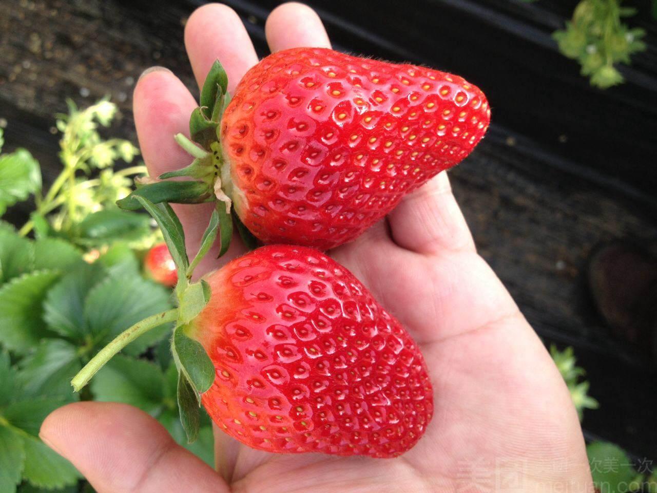树友草莓园-美团