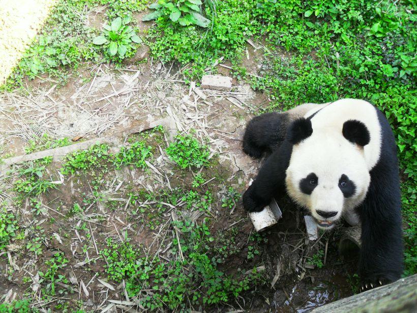 其他的,雅安碧峰峡野生动物园也有大熊猫专区.