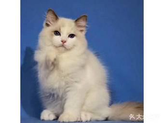 东方名猫馆.名猫宠物猫舍