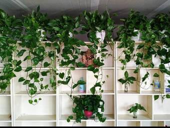 彭博绿萝批发 绿植租摆植物墙盆栽