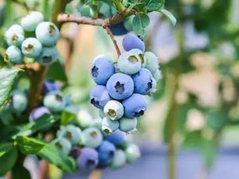 沃苑蓝莓生态采摘园