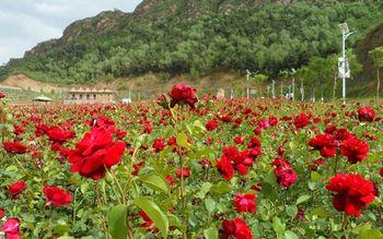 【密云区】玫瑰情园淡季成人票-美团