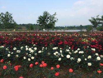 【黄陂区】木兰玫瑰园风景区门票(成人票)-美团