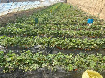 美滋滋草莓采摘园