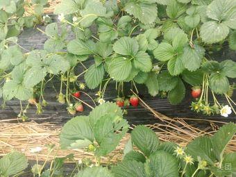 甜甜草莓园