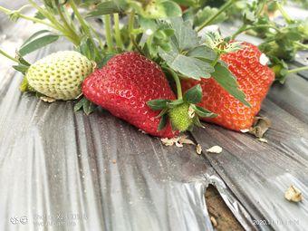 祥和草莓采摘园
