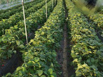 焦屯奶油草莓采摘园