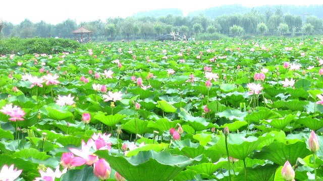 5a 级旅游区,河北省著名风景区,河北省湿地保护区安新县白洋淀景区内.