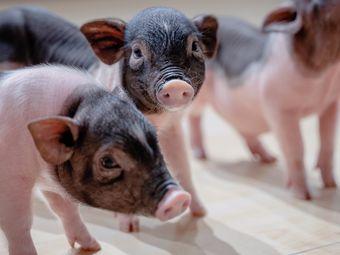 一只特立独行的猪昆明撸猪馆