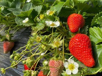 喜洋洋草莓采摘园(5号棚)