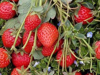 东方村草莓园