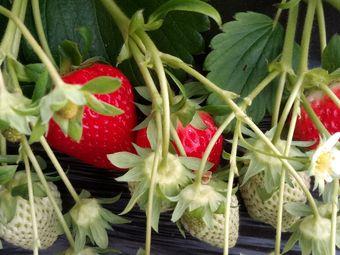 老李草莓采摘园