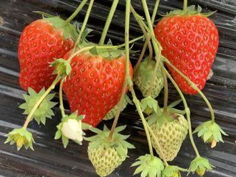 长丰草莓采摘园(滨湖湿地森林公园店)