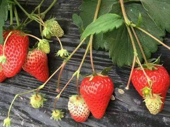 风云奶油草莓采摘园