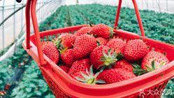 尚樂奶油草莓采摘莊園