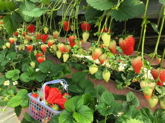田园里草莓采摘园