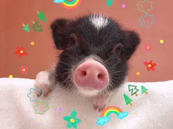 猪小囡撸猪馆