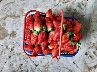诚信的人草莓采摘基地