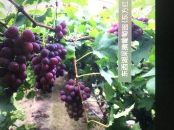东方红有机葡萄采摘园
