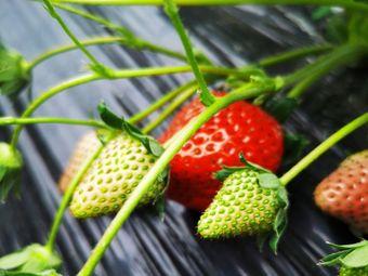 洋洋采摘草莓园